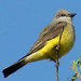 Western Kingbird - Photo (c) Maggie.Smith, some rights reserved (CC BY-NC)