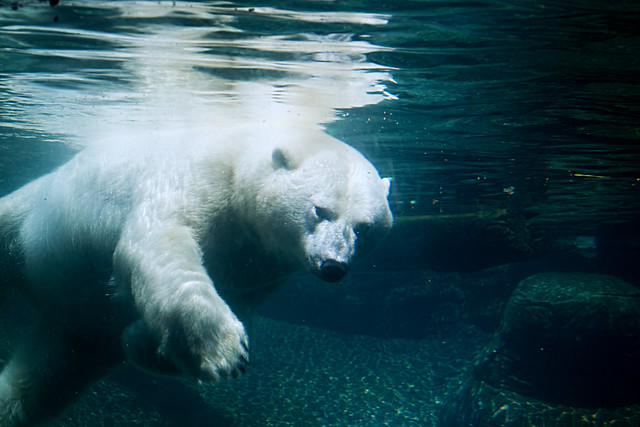 Swimming Polar Bear 2