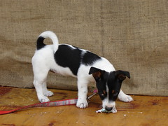 puppy(0.0), toy fox terrier(0.0), jack russell terrier(0.0), terrier(0.0), dog breed(1.0), animal(1.0), danish swedish farmdog(1.0), dog(1.0), brazilian terrier(1.0), pet(1.0), mammal(1.0), russell terrier(1.0),