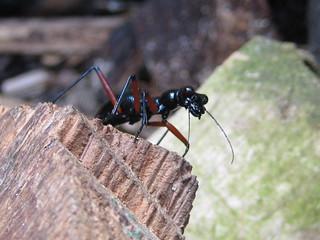Tiger Beetle(Tricondyla)