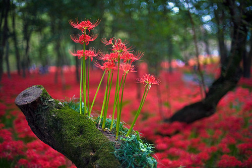Red Spider Lily Filled Forest