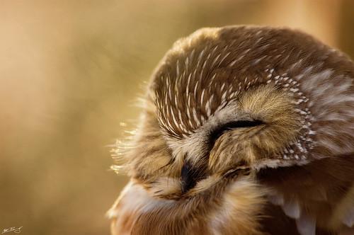 sleeping newyork bird nature wildlife rochester raptor owl lakeontario predator avian sawwhetowl aegoliusacadicus northersawwhetowl