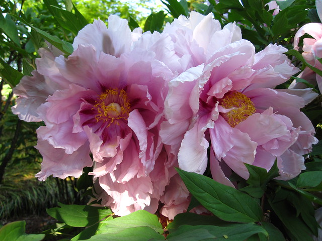 Paeonia suffruticosa 'Chiyo Zakura' blooming in the Japanese Hill-and-Pond Garden. Photo by Rebecca Bullene.