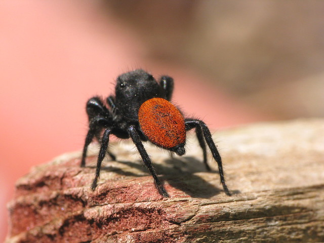 Black jumping spider with red dot - photo#19