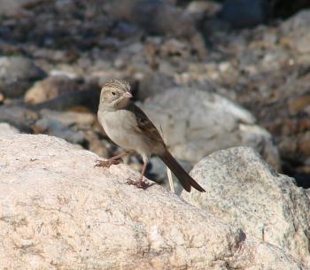 Brewer's Sparrow CSP November 20, 2006 033