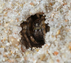 Wolf Spider in its lair