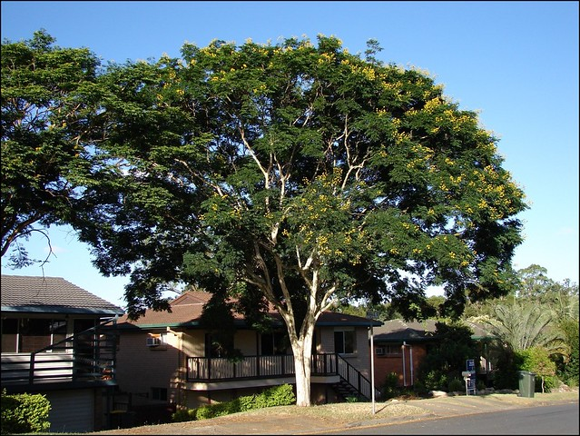 How Much Is A Crown >> Caesalpinia ferrea -'Leopard tree' | Flickr - Photo Sharing!