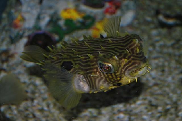 Puffer fish mote aquarium flickr photo sharing for Puffer fish florida