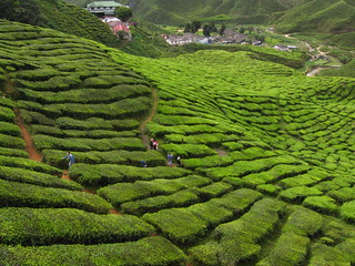 Tea plantation , Cameron Highland