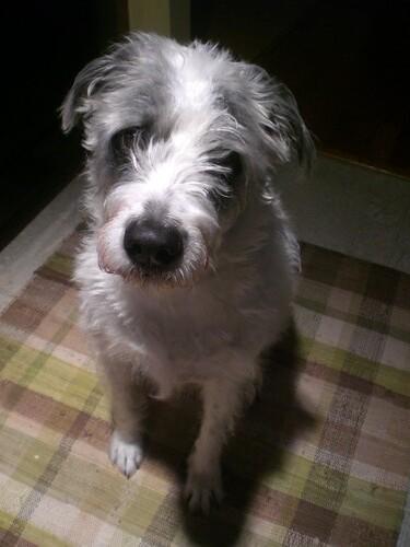 Small Shelter Dog For Adoption