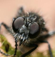 Robberfly?