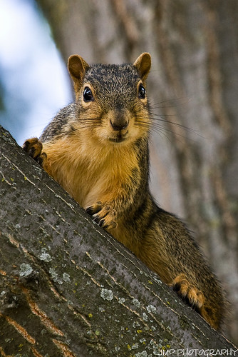 urban cute animal photography rodent furry backyard squirrel michigan wildlife fox foxsquirrel mandj98 jmpphotography jamesmarvinphelps michiganfoxsquirrel riverviewmichigan imightbeinterested