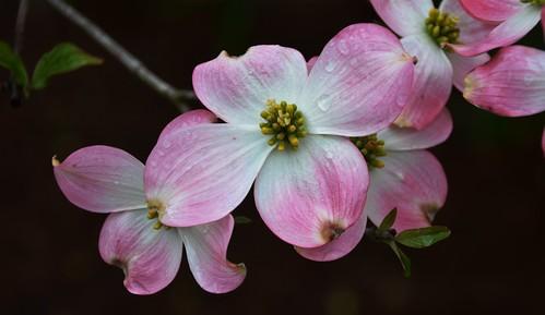 droplets spring edenpark ngc npc dogwood dewy krohnconservatory infinitexposure jennypansing
