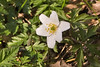 _MG_2656 Wood Anemone (Anemone memorosa) by ajmatthehiddenhouse