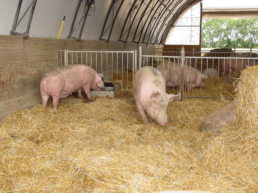 Hogs in a hoop house