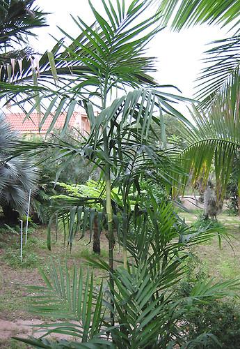 graines de palmier palmier bambou chamaedorea seifrizii de 10 graines et ebay. Black Bedroom Furniture Sets. Home Design Ideas