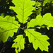 northern red oak - Photo (c) António Pena, some rights reserved (CC BY-NC-SA)