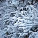 Small photo of Snow bush