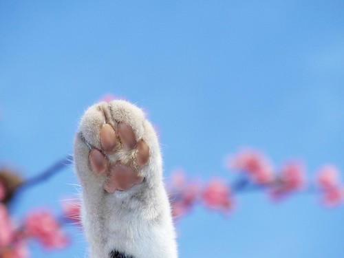 Sakura cat (cat's paw with cherry blossoms)