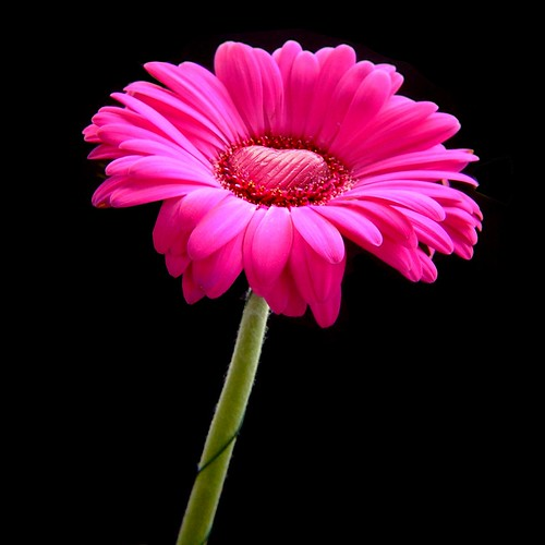 Happy Valentines Day - pink gerbera with a heart of chocolate