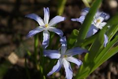 iris versicolor(0.0), galanthus nivalis(0.0), narcissus(0.0), flower(1.0), macro photography(1.0), wildflower(1.0), flora(1.0), scilla(1.0),