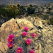 Pitaya Cactus blooms - <span>Pitaya, or strawberry cactus blooms in Big Bend National Park</span>
