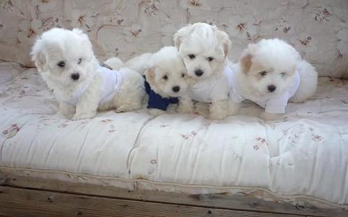 coton de tulear puppies a photo on flickriver