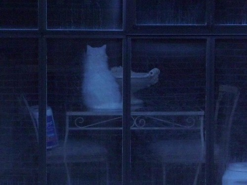 Pearl as a Ghost Cat