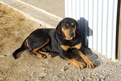 finnish hound(0.0), black and tan coonhound(0.0), dog breed(1.0), animal(1.0), hound(1.0), dog(1.0), pet(1.0), mammal(1.0), transylvanian hound(1.0), austrian black and tan hound(1.0), polish hunting dog(1.0),