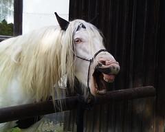 Meister Hauyhnhnm oder das Pferd irgendwo im Erzgebirge ist hier eingefangen, das immer noch unbekannte und geheimnisvolle, das Zauber - Wunderwesen Pferd 012