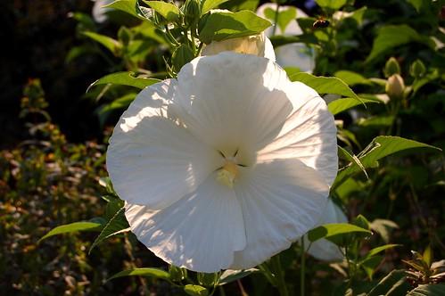 atlanta atlantabotanicalgarden whitehibiscus