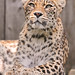 Leopardess looking up