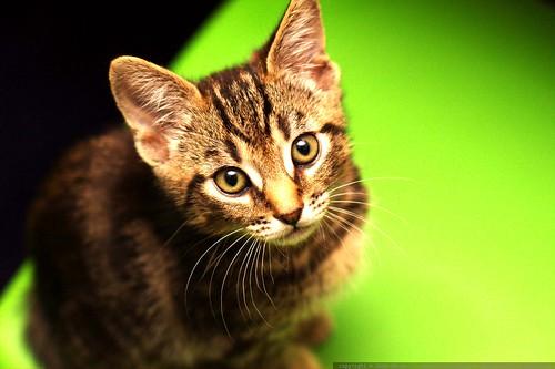 our new kitten, baby buddha    MG 4958