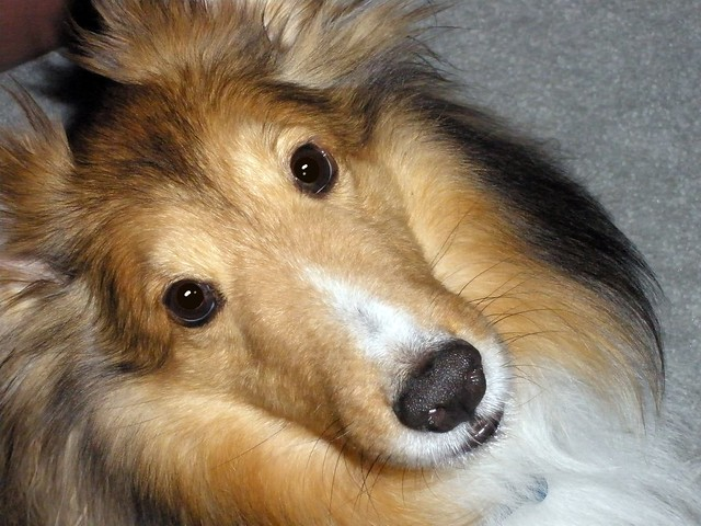 Sheltie Dog For Sale Arnprior