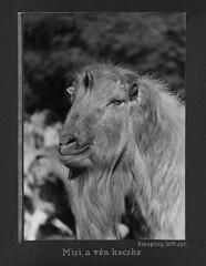 Goat portrait I (1955)