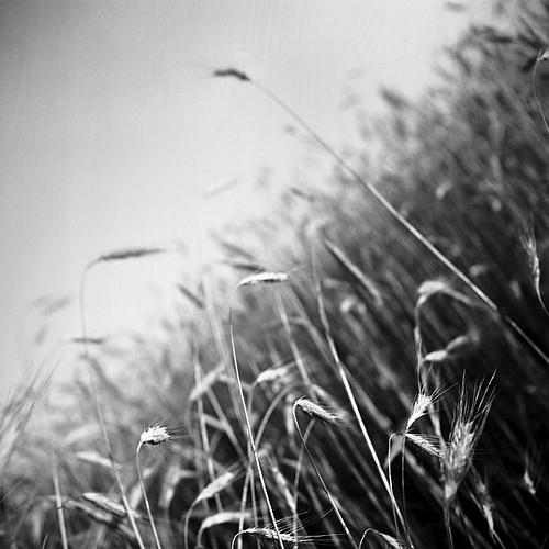 bw 120 tlr film analog mediumformat wheat mat xp2 124g ilford yashica lostinpixelshu