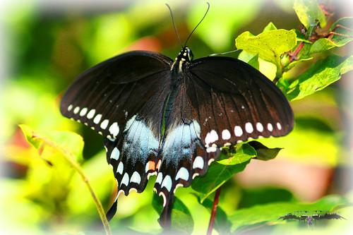 Black Swallowtail 1