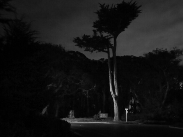 Tall Tree in The Presidio, night.  San Francisco (2014)