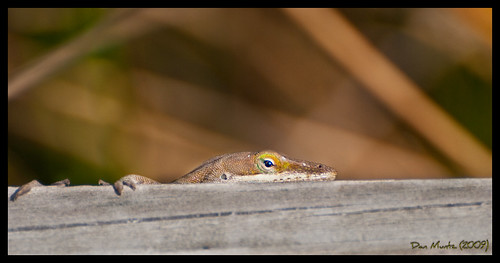 green nature bay valdosta head wildlife grand lizard anole hiding wma lowndes d80
