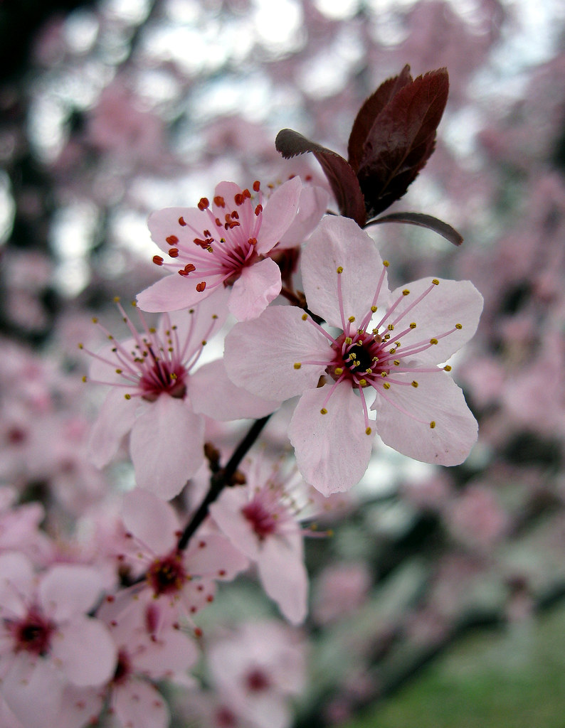 Prunus (species?), Ornamental plum?, Roanoke, Virginia