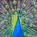 """Eyes of Argus"" -- Indian Blue Peacock (Pavo cristatus)"