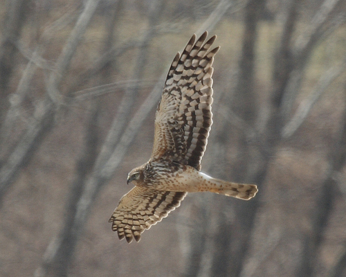 Northern Harrier by Dave Cooney