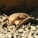 Pallid Bat - Photo (c) Keaton Wilson, some rights reserved (CC BY)