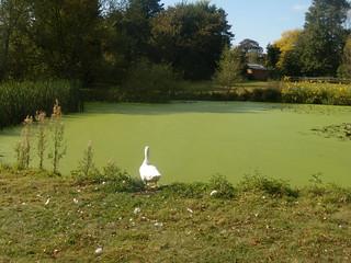 Goose near pond