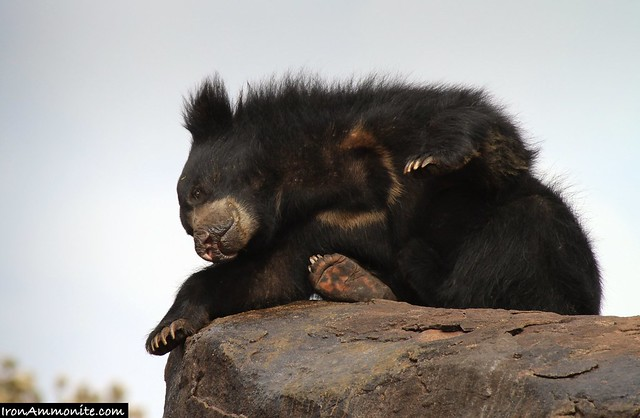 Sloth Bear Stretching