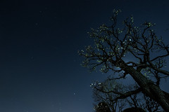 Ume blossoms under stars