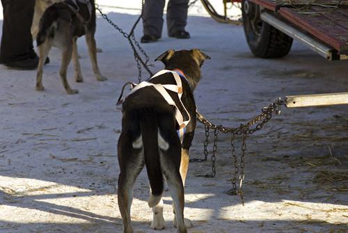 3216530711 394b34f253 Elkford Sled Dog Races