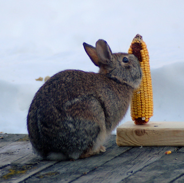 rabbit stops by for supper