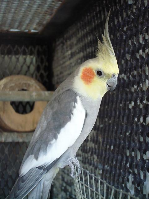 黄化玄凤鹦鹉分公母_玄凤鹦鹉分公母