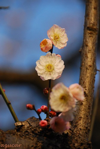 park pink white flower japan nikon chiba ume d60 flowerscolors beautifulexpression photographyrocks diamondclassphotographer aobanomorikōen